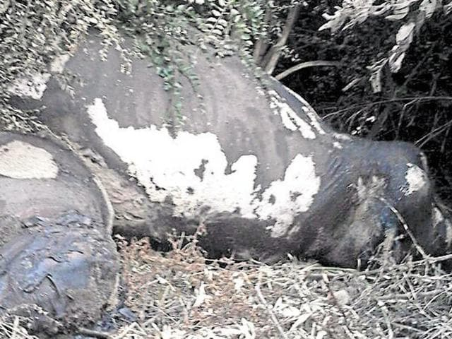 The elephants had been dead for at least a week and the bodies were found with white patches and maggots.