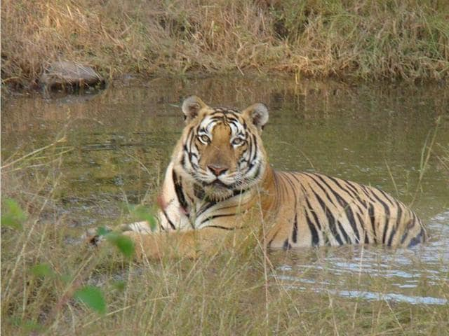 2009, the Panna Tiger Reserve lost all its tigers but now there are 30 tigers thanks to a successful reintroduction programme(HT)