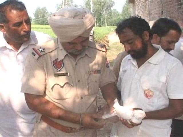 The pigeon in Mukerian sub-division's Motla village , in police custody. Mukerian is 35 km from Pathankot, which remains on a high alert after the airbase attack.