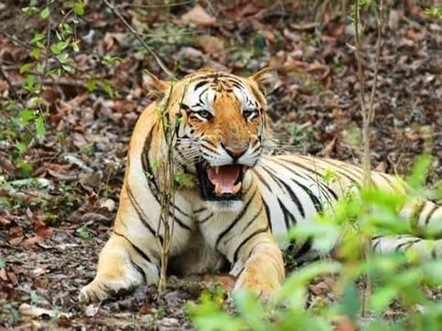 Jai, the missing tiger, who had come to  Umred-Karhandla sanctuary, walking 150km from the Nagzira-Navegaon tiger reserve of Gondia-Bhandara district in September 2013