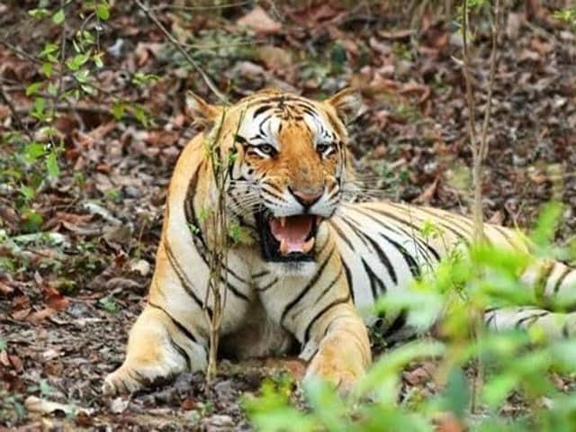 missing tiger jai