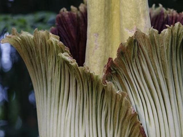 A corpse flower begins to bloom at the New York Botanical Garden. Dartmouth College's specimen is expected to fully open on Saturday.