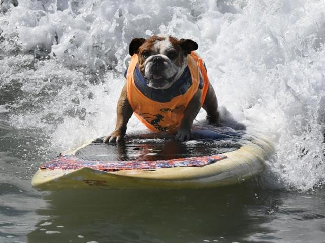 Surf dog Sully surfs a large wave during the 8th annual Surf City Surf Dog event at Huntington Beach, California on September 25, 2016. Dogs, big and small, and some in tandem braved the large swell that greeted them at the iconic event. / AFP PHOTO / Mark RALSTON