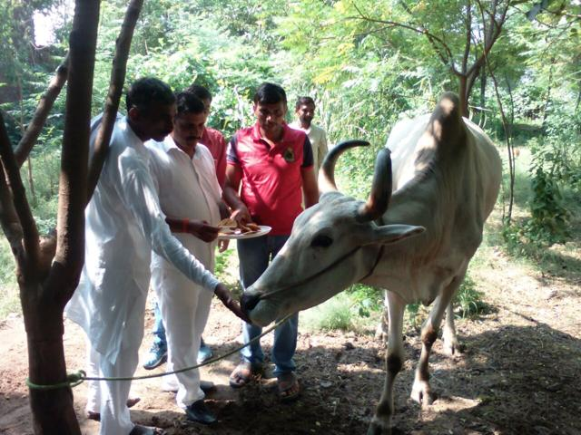 A file picture of farmer Rajendra Yadav's ox.