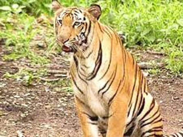 Six tigers will be released in Bengal Safari Park in North Bengal. The animals will roam in 50 acres of land. The tourists will visit the park in a bus. Rides will start from December.