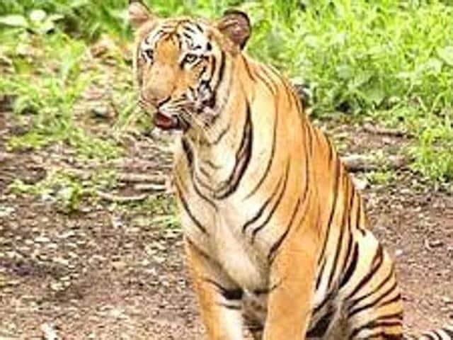 Royal Bengal Tigers,Bengal safari,North Bengal