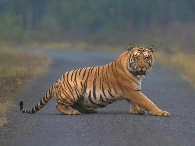 The global estimation of tigers in 2016 is 3900, a slight increase from 3200 in 2010.(HT file photo)