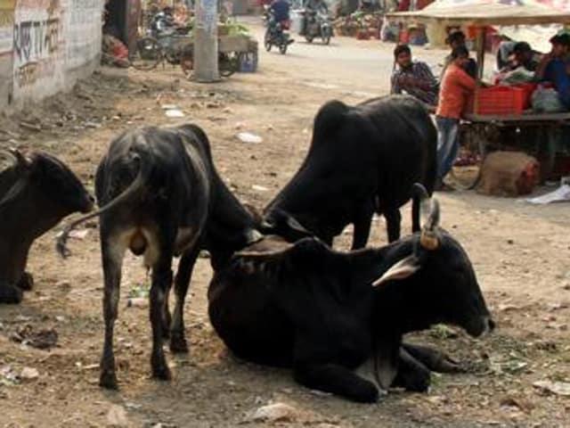 cows,dhindsa,Punjab