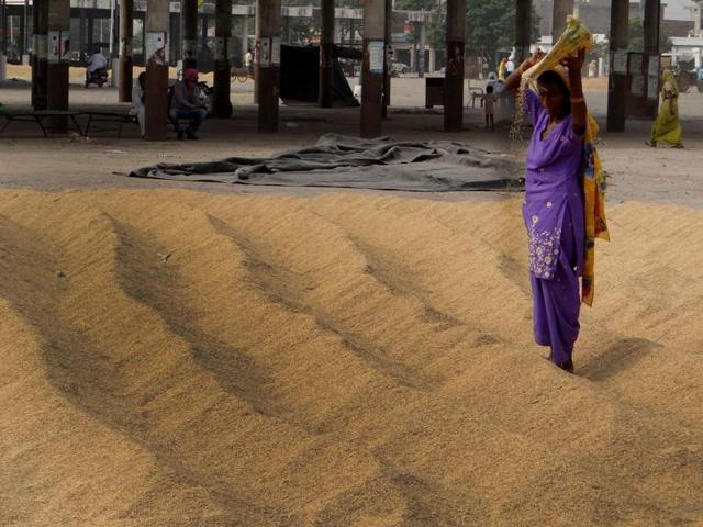 A labourer drying paddy at a grain market in Moga on Tuesday.