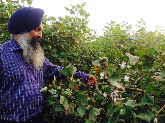 Progressive farmer Avtar Singh showing blooming buds of cotton in his farm at Virk village near Phagwara on Thursday.