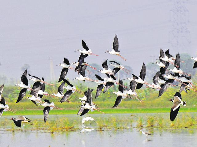 Black winged stilts at the Sultanpur National Park in Gurgaon on Sunday.