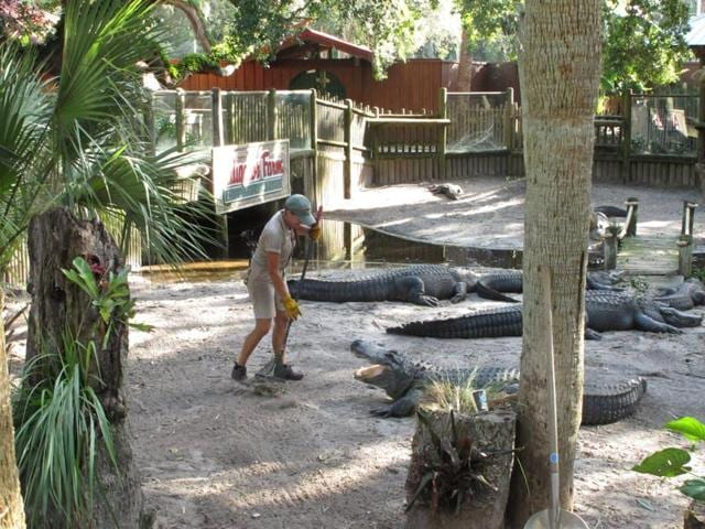 Amie Mercado cleans up Hurricane Matthew debris in an alligator pit with the enormous reptiles just a couple of feet away.