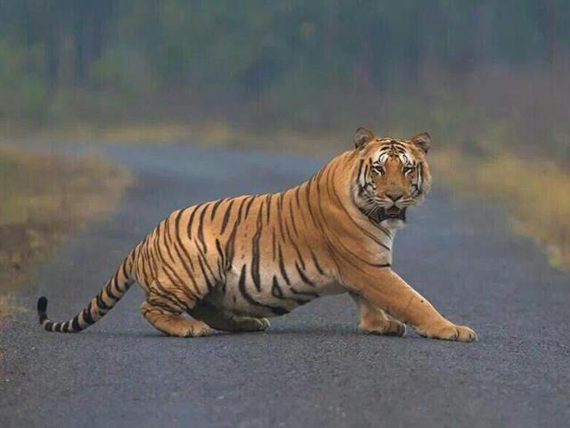Hunt for man-eating tigress becomes political fodder in Uttarakhand