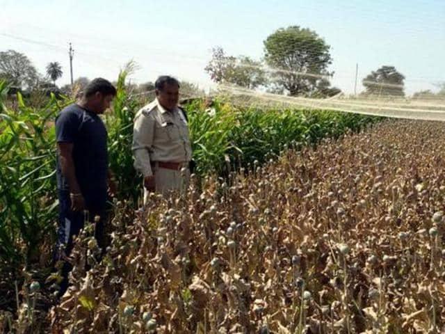 Poppy cultivation,Malda,Kaliachak