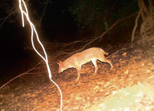 Some of the wildlife creatures captured by camera traps in Gurgaon included Porcupines