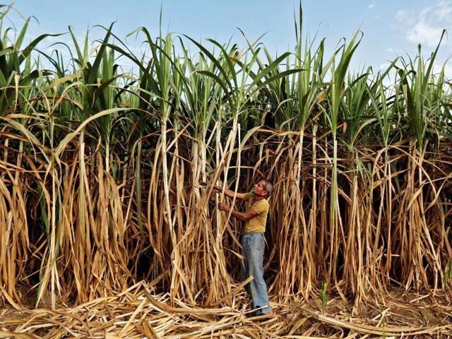 Sugarcane,Drought,Crops in Maharashtra