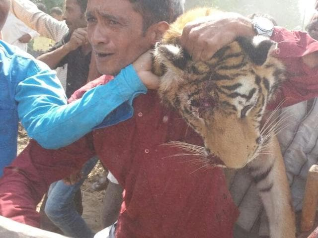 The man-eater tigress that was shot dead near Haldwani town after a 44-day hunt.(HT photo)