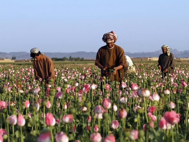poppy,opium cultivation,UN Office on Drugs and Crime