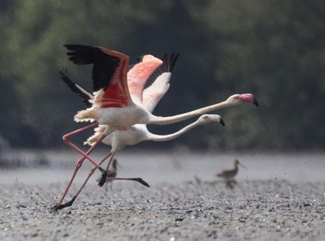 Local fishermen said more than 7,000 flamingos didn't leave the 10-kilometre wetland stretch from Airoli to Vashi along the Thane creek.