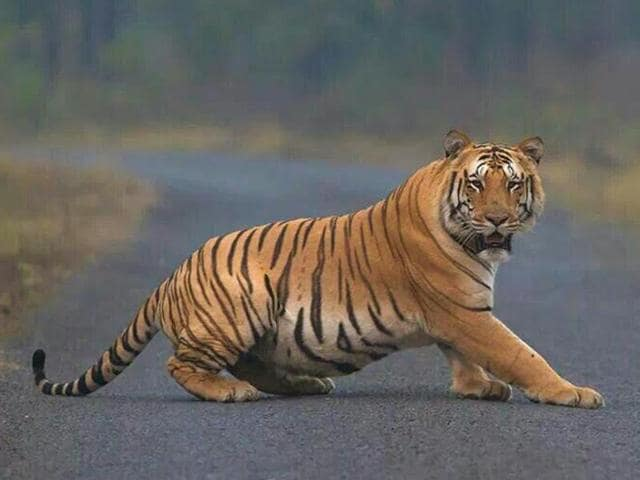 The carcass of a tiger was found at the Kanha Tiger Reserve in Madhya Pradesh, the second tiger death in this month.