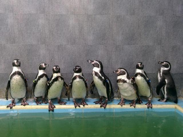 The death of Dory has animal activists worried as the Humboldt Penguins are an endangered species.