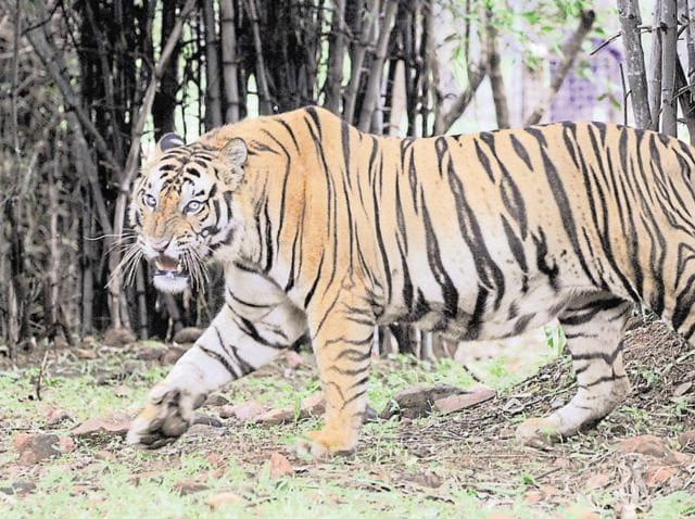 Bhopal,tiger poaching,Kanha Tiger Reserve