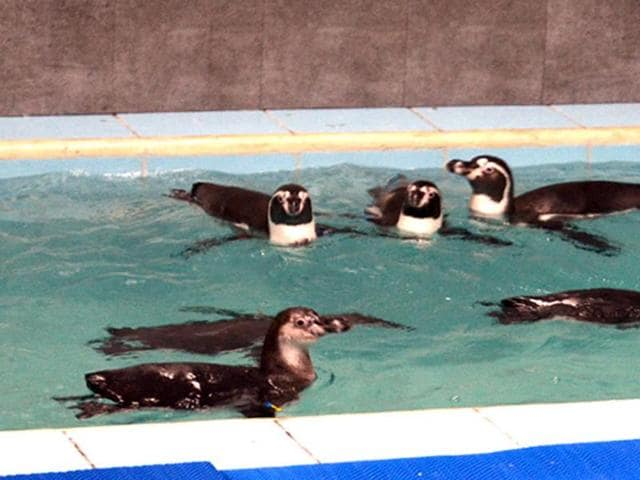 Eight Humboldt penguins were brought to the Byculla zoo  on  July 26, 2016.