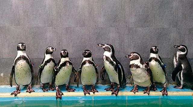 Dory, one of the eight Humboldt penguins brought to the Byculla Zoo, died of bacterial infection last week.