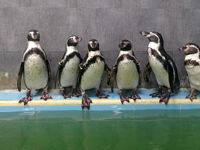 The death of Dory, a one-and-a-half-year-old female Humboldt penguin at Byculla zoo last week sparked bizarre scenes at the BMC's standing committee meeting on Wednesday.