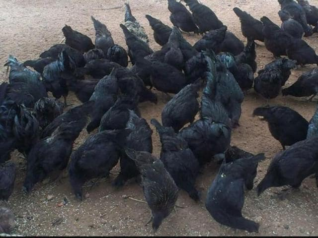 Kadaknath, a breed of black chicken, is found in tribal districts of Jhabua and Alirajpur.
