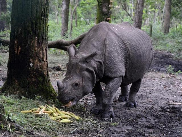 A one-horned rhinoceros eats corn in an open enclosure at Bengal Safari park on the outskirts of Siliguri.