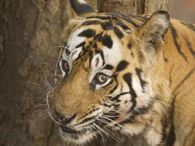 Seventy-five tigers have died so far this year across the country with Madhya Pradesh alone accounting nearly one-third of the toll.(HT photo)