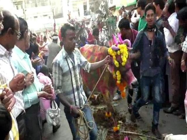 A cow being led for Gai Gohari ceremony.