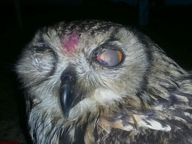 The injured owl after its rescue.