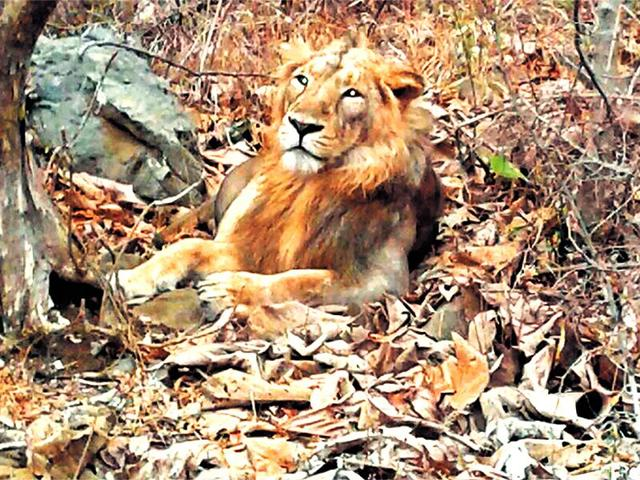 File photo of the lion at the Girnar Wildlife Sanctuary.(HT Photo)