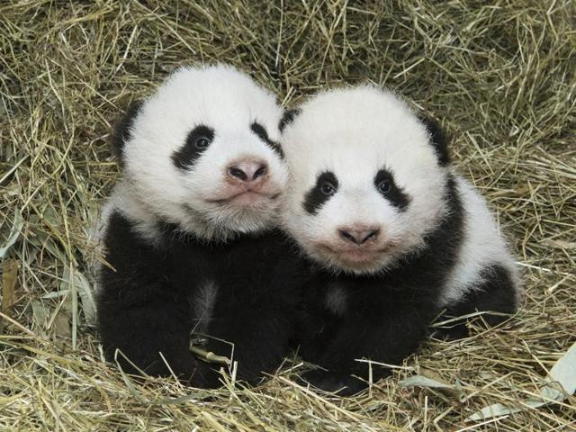 Votes In Meet Fu Ban And Fu Feng Vienna S Twin Baby Pandas World News Hindustan Times