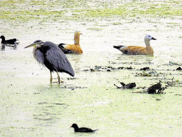 Migratory birds from Central Asia and European countries at a wetland in Kota.