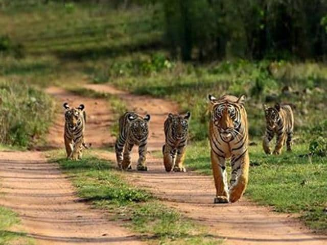 File photo of tiger cubs with their mother in Bandhavgarh Tiger Reserve. There have been five tiger deaths in Bandhavgarh tiger reserve and 25 in Madhya Pradesh this year.