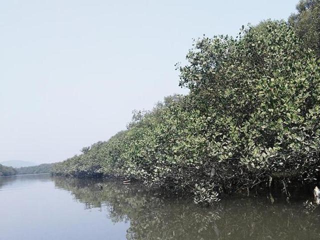The Apple mangrove at Thane creek.