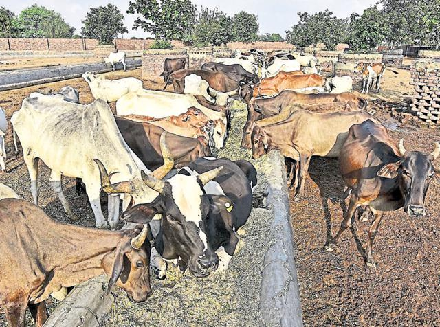 The government has decided to provide ID cards for cow vigilantes and has set aside an estimated Rs 20 crore for the Cow Commission.(Raj K Raj/HT Photo)