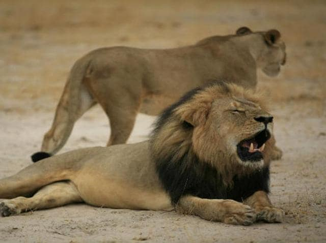 Walter Palmer killed Cecil, a rare black-maned lion, with a bow and arrow outside Hwange National Park in western Zimbabwe last year.