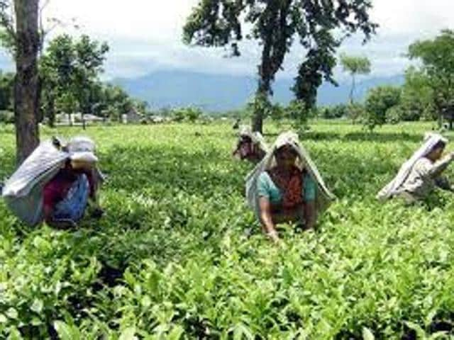 tea gardens,currency ban,West Bengal