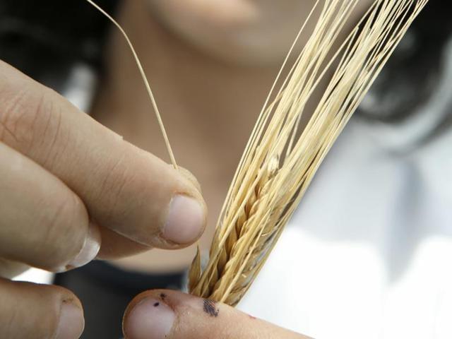 Houda Haidar prepares barley seeds for planting in the nursery in the Rabat seed bank, Morocco.