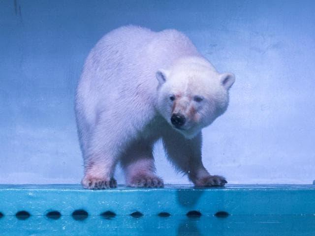 China,Animal rights,World's saddest polar bear
