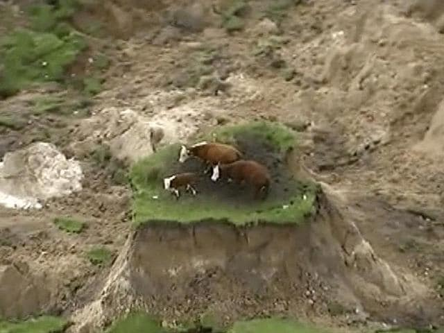 In this image made from video, three cows are stranded on an island of grass in a paddock that had been ripped apart following an earthquake near Kaikoura, New Zealand on Monday.