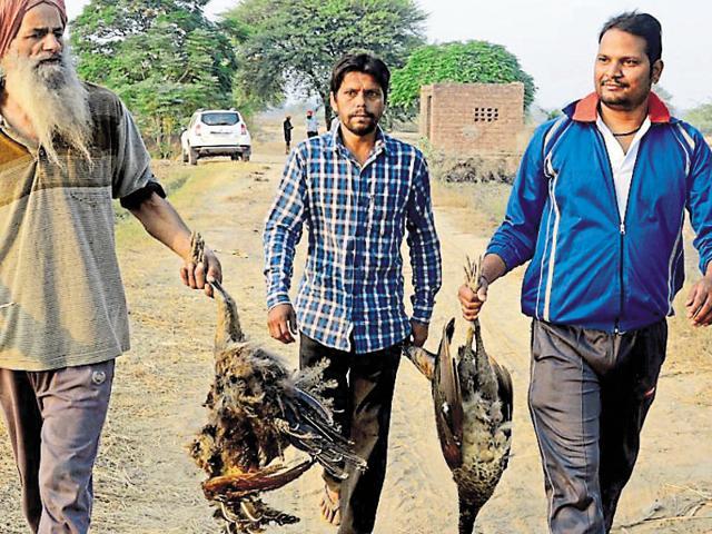 Bird Flu,peacocks,dead