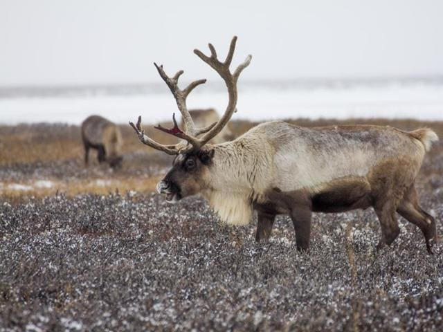 Reindeer pasture in the Yamal region, Russia. The indigenous reindeer herders in Russia's northern Yamal Region are facing a man-made threat as officials push ahead with an unprecedented culling that calls for at least one in seven of the Yamal's reindeer to be slaughtered.