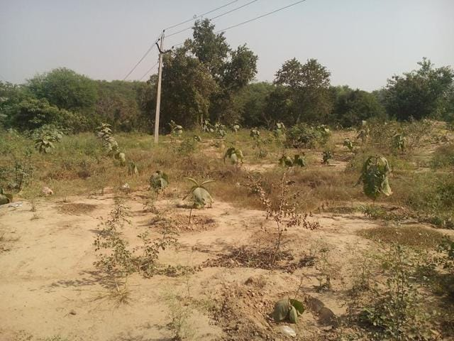 Newly planted saplings along the SYL canal at Chunni Khurd village of Fatehgarh Sahib.