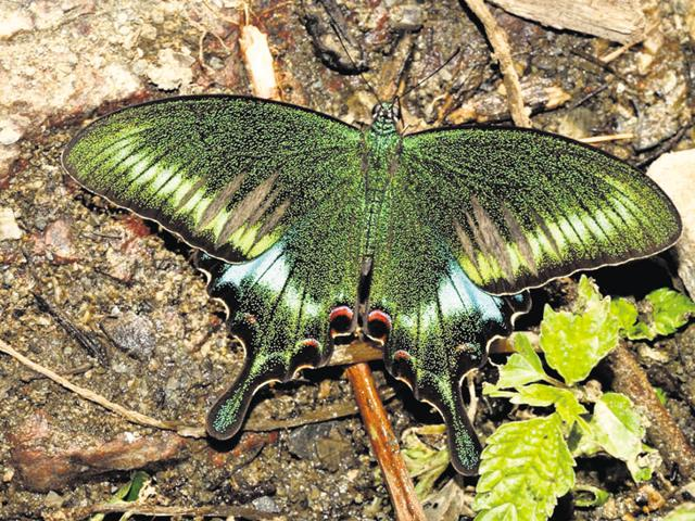 Uttarakhand to declare 'Common Peacock' as state butterfly