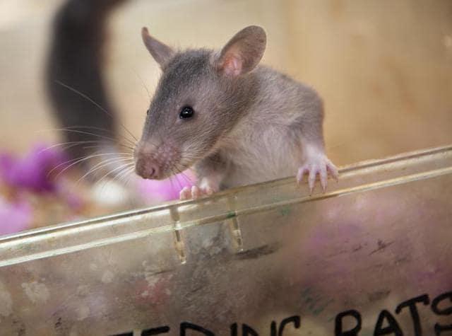 baby rat,rat detective,pangolin
